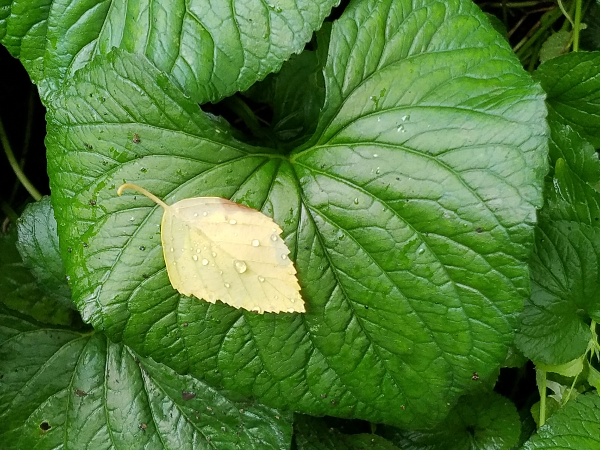Large green leaf and small yellow leaf, with droplets