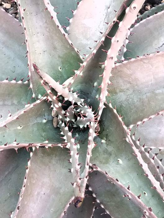 macro photo of a succullent planl, prickly
