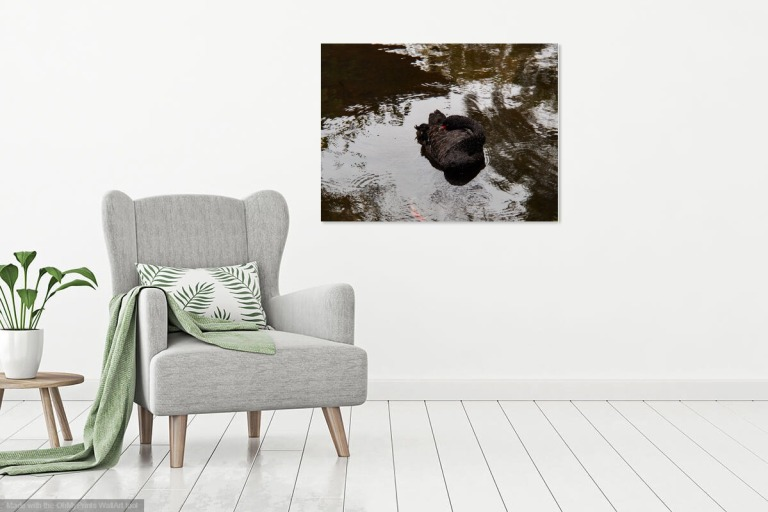 Black swan resting against a dark pond with moving water, photograph