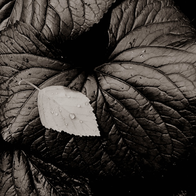 macro photography sepia leaf nature monochrom