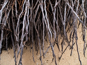 Death at the Beach: Roots, a macro shot of a tree roots exposed at the beach (c) lensmomentsns 2018