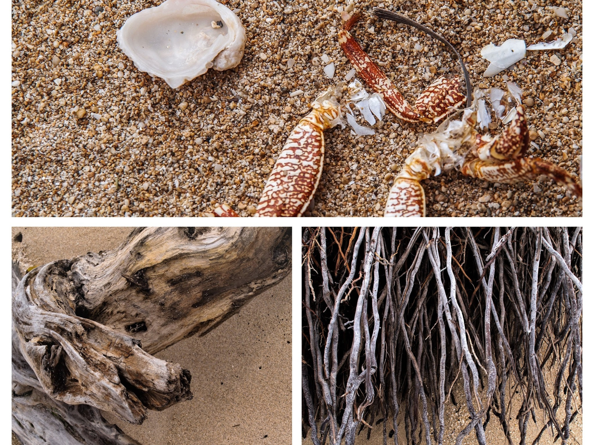 death at the beach, with roots, driftwood, crab legs and shell, (c) lensmomentsns 2018