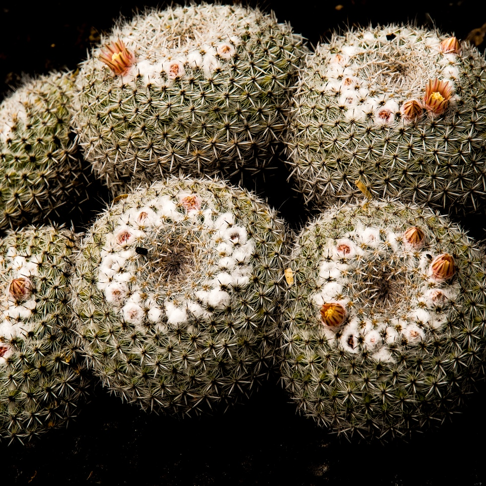 Cacti Closeup, photographed in Oahu, Hawaii by LensMoments by Nichole Spates (c) 2018
