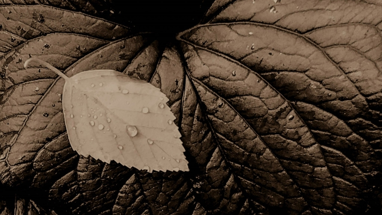 Leaf with Leaf image in Sepia, photo by LensMomentsNS, (c) Nichole Spates 2018