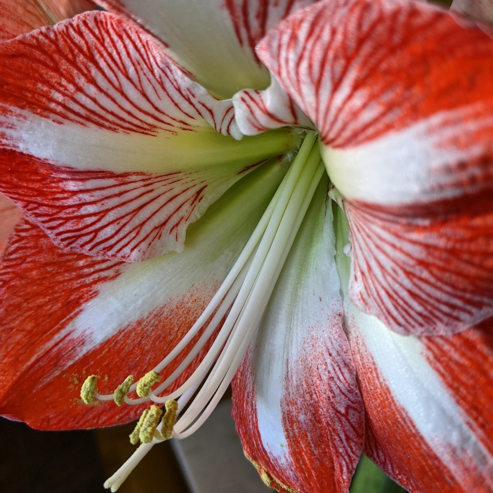 Photograph of a red and white amaryllis flower by LensMoments by Nichole Spates 2019