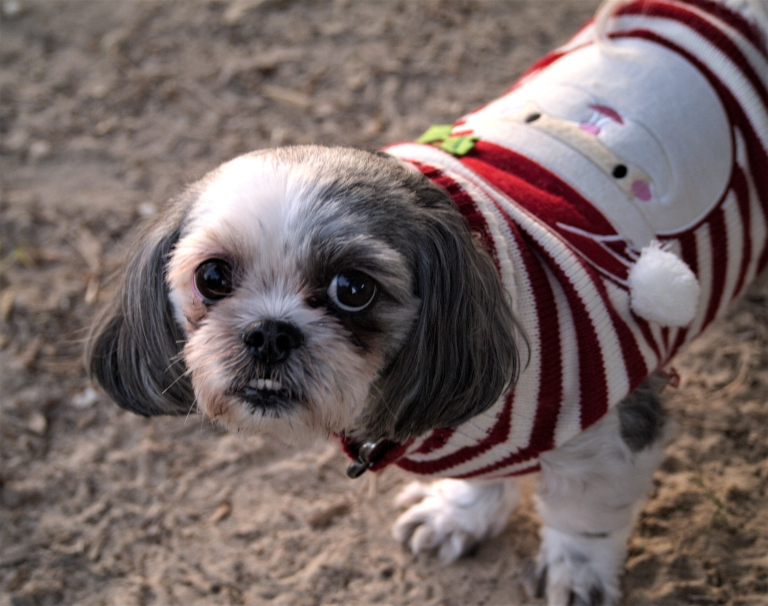 portrait of a determined dog in a christmas sweater, a photograph by LensMomentsNS - Nichole Spates (c) 2019