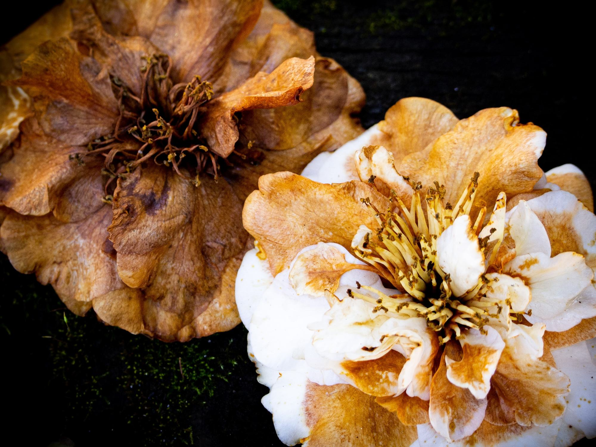 A photo of dying Camellia flowers by LensMoments - Nichole Spates 2020