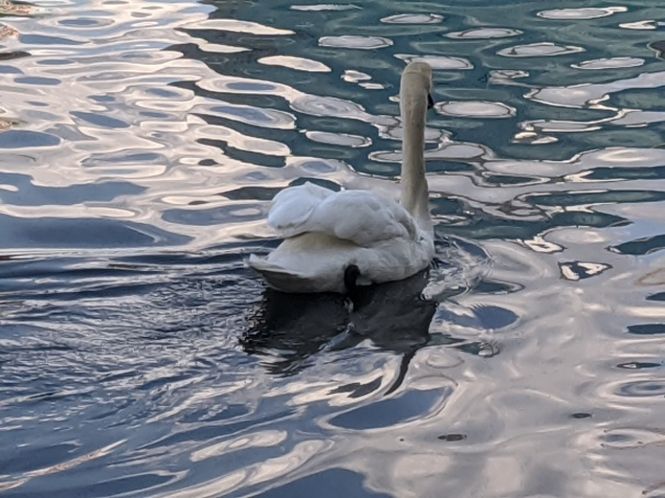 photograph of a swan swimming on rippled water by LensMoments - Nichole Spates 2020